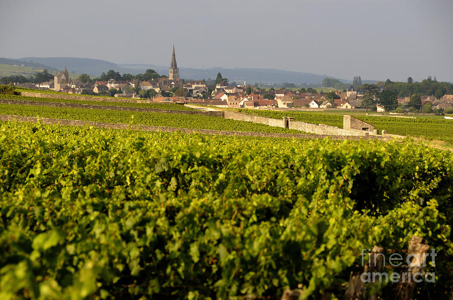 Vineyard In Front Of The Village Of Meursault. Burgundy Wine Road. Cote Dor.burgundy. France. Europ Photograph  - Vineyard In Front Of The Village Of Meursault. Burgundy Wine Road. Cote Dor.burgundy. France. Europ Fine Art Print