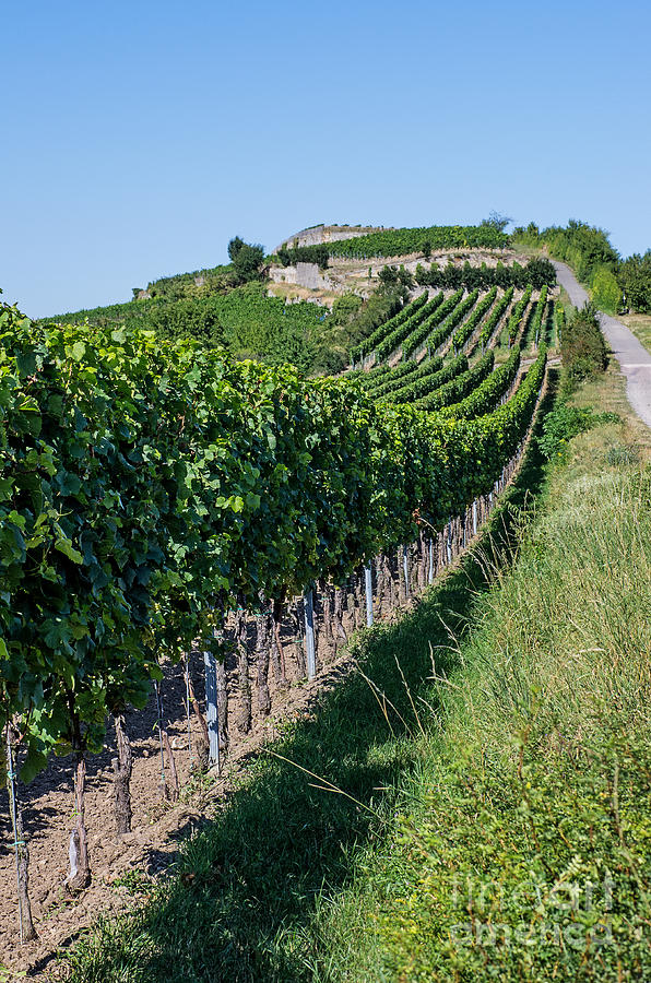 Vineyard In Rhineland Palatinate Photograph
