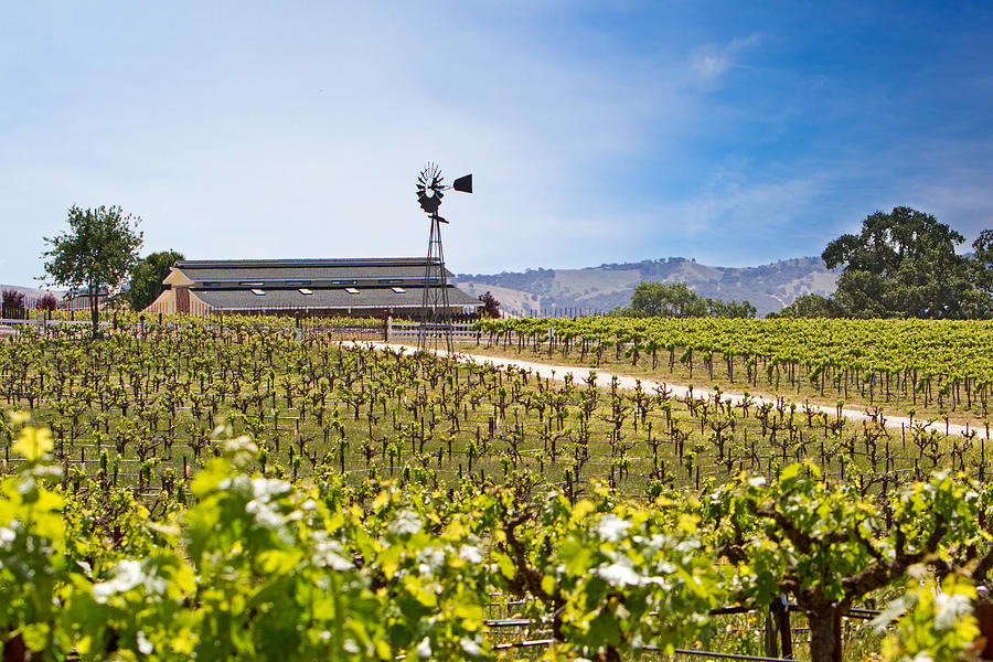 Vineyard With Young Vines Photograph