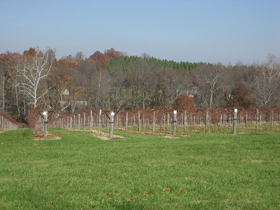 Vineyards In Va - 121228 Photograph