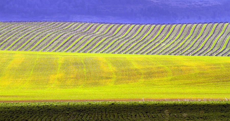 Vineyards Photograph  - Vineyards Fine Art Print