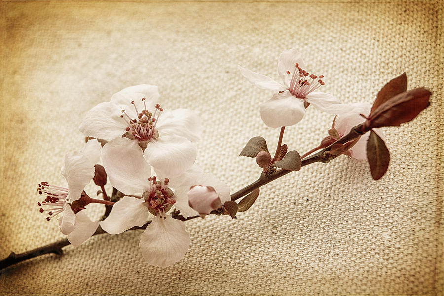 Blossoms Photograph - Vintage Blossoms by Caitlyn  Grasso