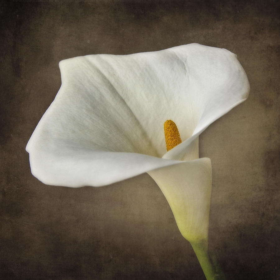 Vintage Calla Palustris Photograph