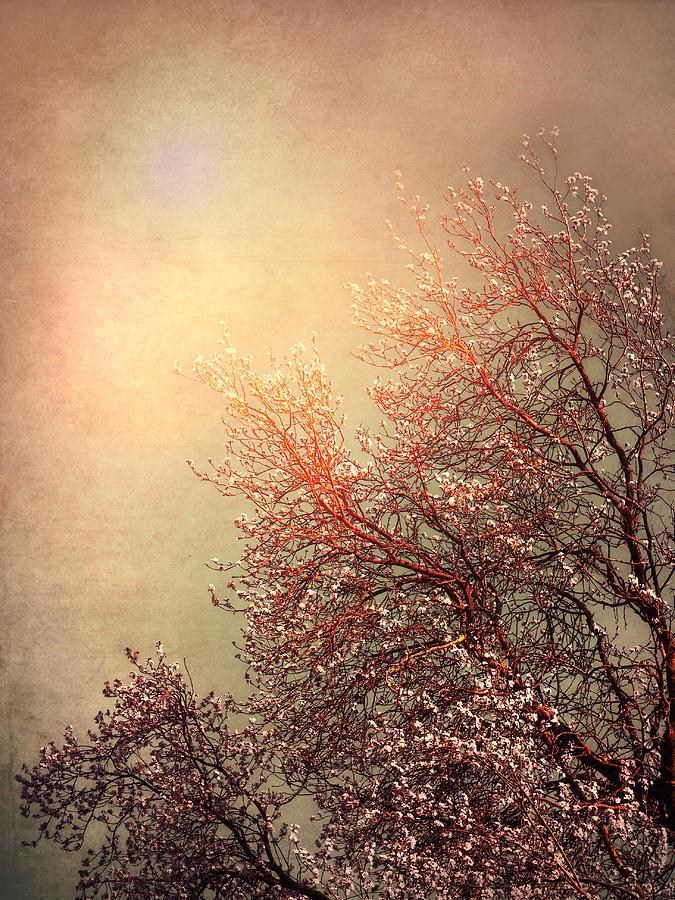Vintage Cherry Blossom Photograph