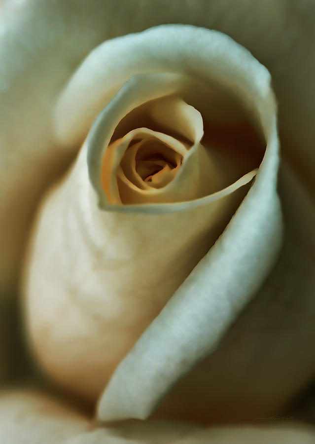 Vintage Macro Rose Flower Photograph