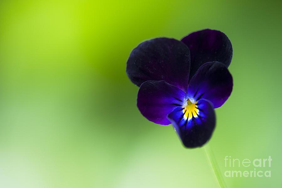 Viola Cornuta bowles Black Photograph