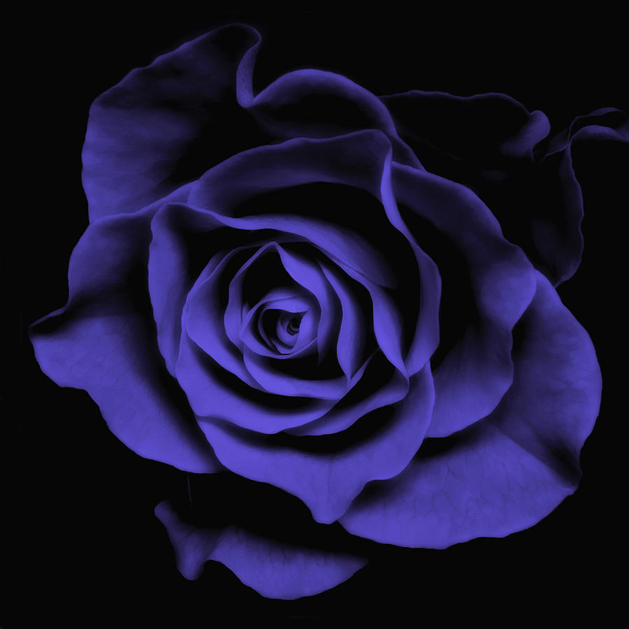 Violet Blue Rose II - Flowers Macro Fine Art Photography Photograph  - Violet Blue Rose II - Flowers Macro Fine Art Photography Fine Art Print