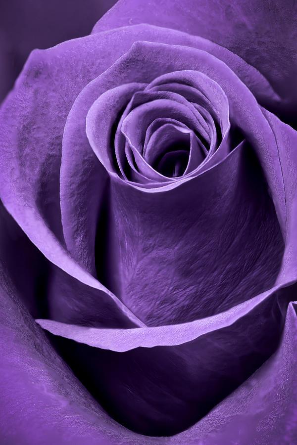 Violet Rose Photograph