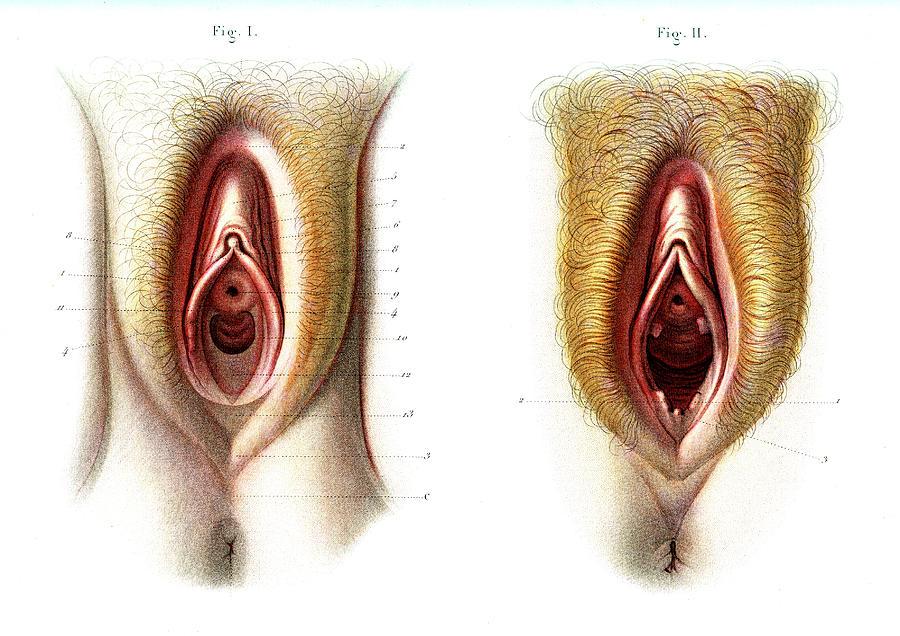 Виды женских гениталий фото