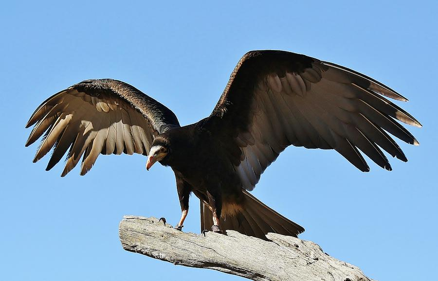Vulture Wings Photograph