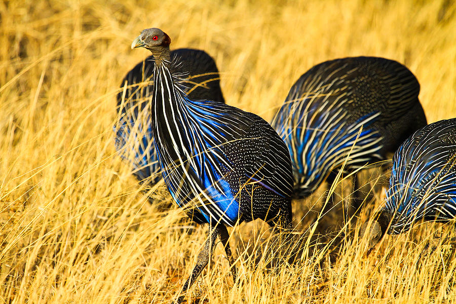 Vulturin Guineafowl Pyrography
