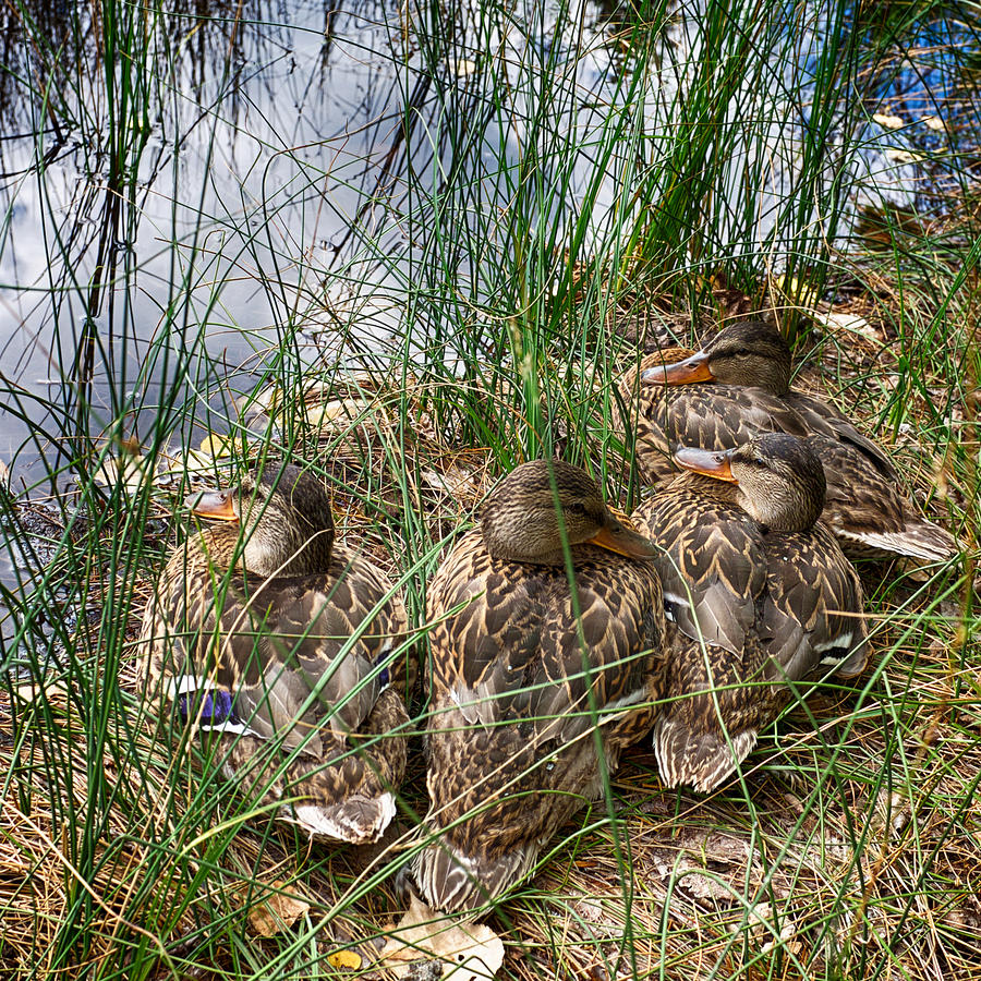 Waddle Of Ducks Photograph by Trever Miller