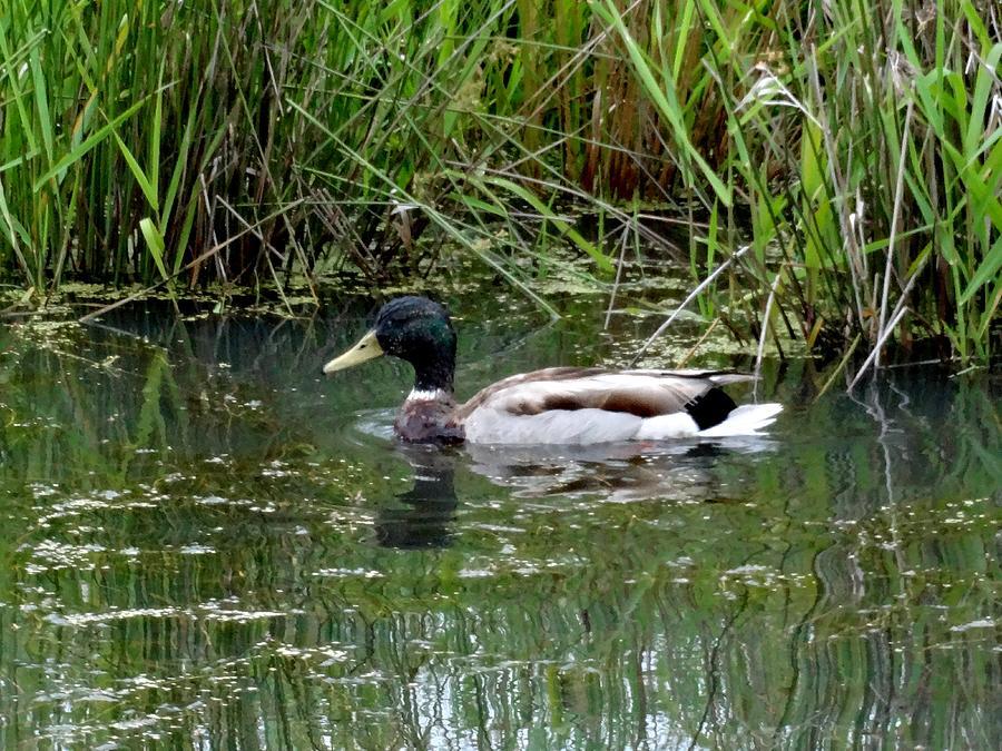 Wading Mallard Duck  Photograph