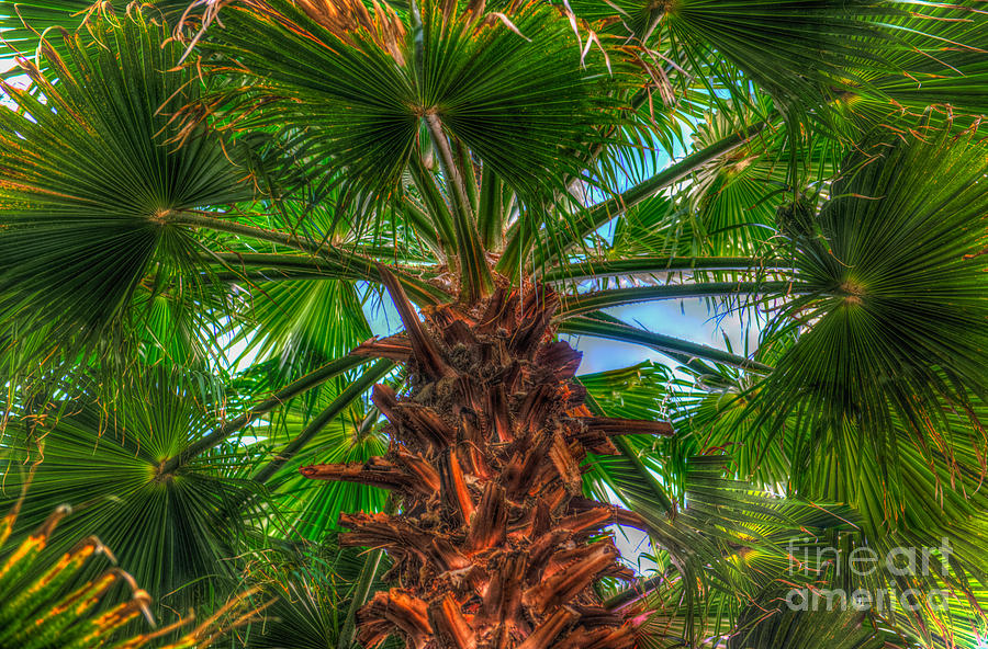 Waghingtonia Palm Tree Photograph