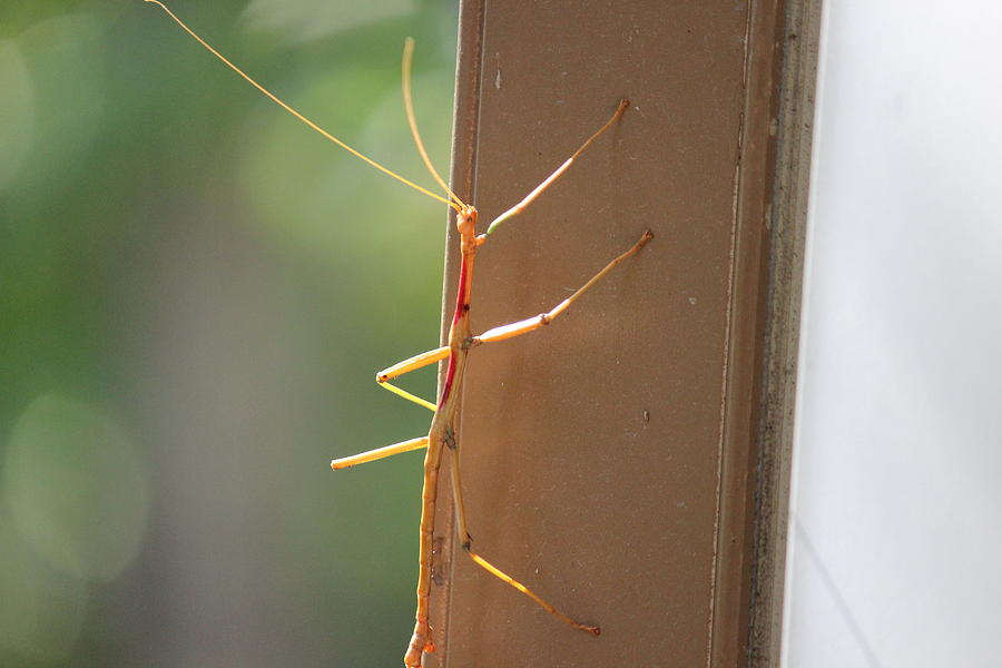 Walking Stick Photograph  - Walking Stick Fine Art Print