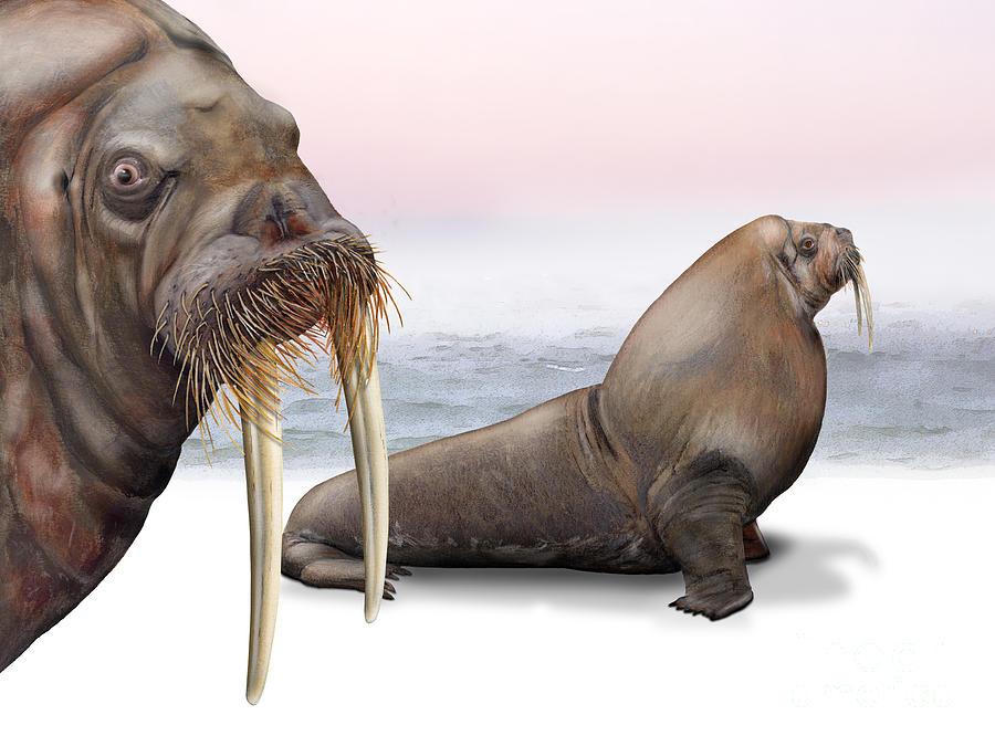 Walross - Walrus - Hvalros - Valross - Hvalross Hvalrossene -odobenus Rosmarus -svalbard Spistbergen Painting
