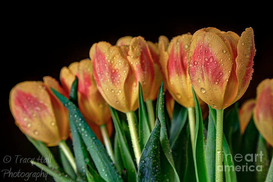 Warm Tulips Photograph