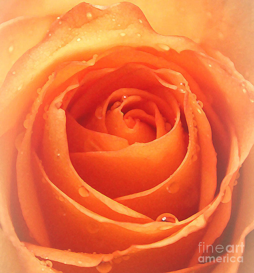 Warmth Of A Rose Photograph  - Warmth Of A Rose Fine Art Print
