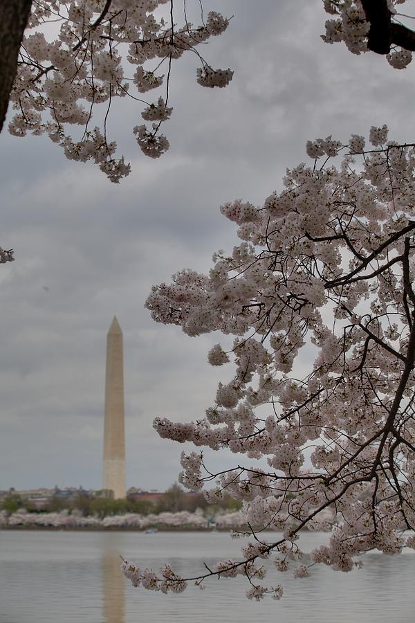 Washington Monument - Cherry Blossoms - Washington Dc - 011319 Photograph