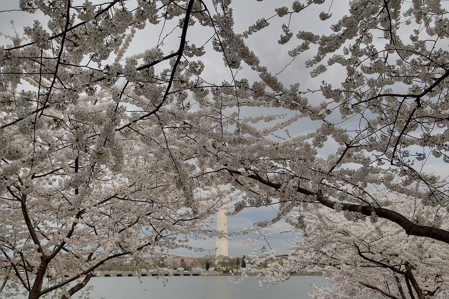 America Photograph - Washington Monument - Cherry Blossoms - Washington Dc - 011323 by DC Photographer