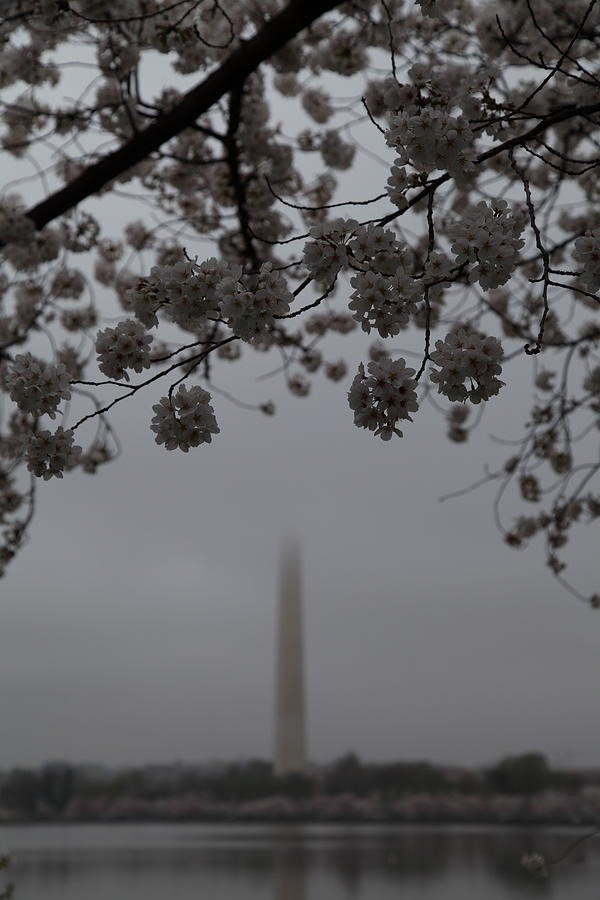 Washington Monument - Cherry Blossoms - Washington Dc - 011337 Photograph