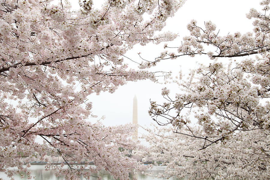 Washington Monument - Cherry Blossoms - Washington Dc - 011343 Photograph