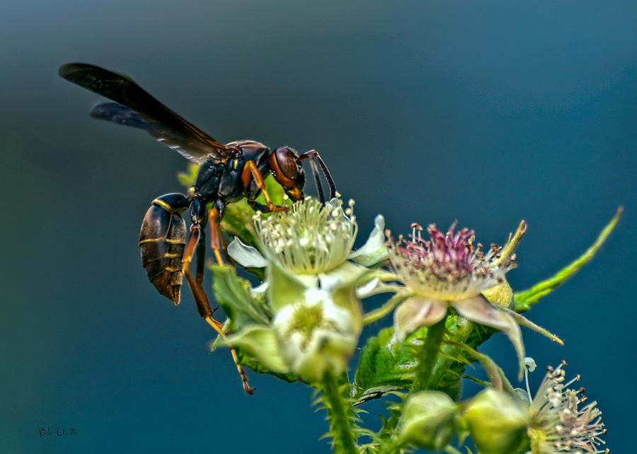 Wasps Photograph - Wasp by Bob Orsillo