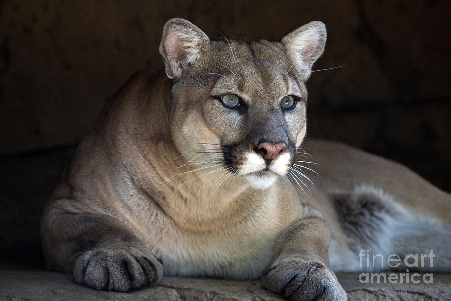 Watchful Cougar Photograph  - Watchful Cougar Fine Art Print