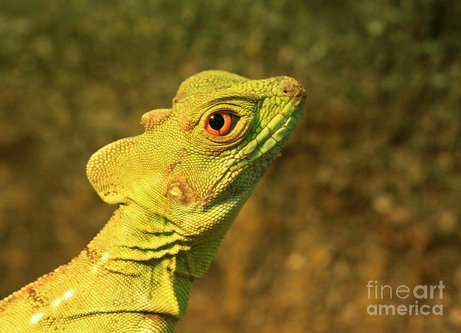 Watchful Eye Of The Green Basilisk Lizard  Photograph