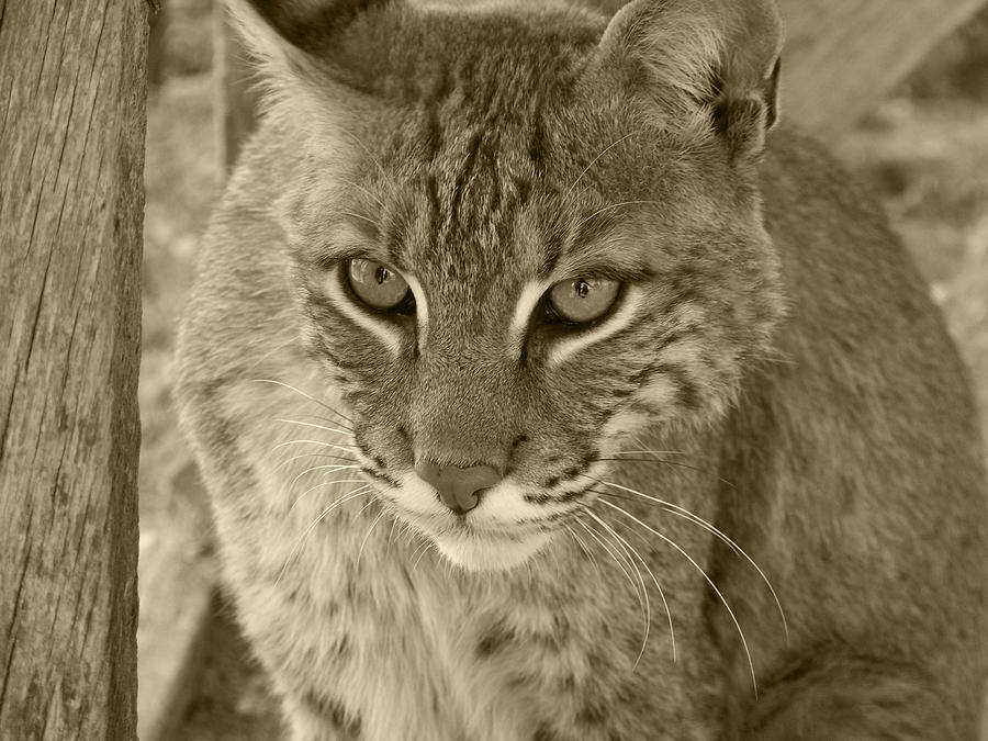 Watchful Eyes-sepia Photograph