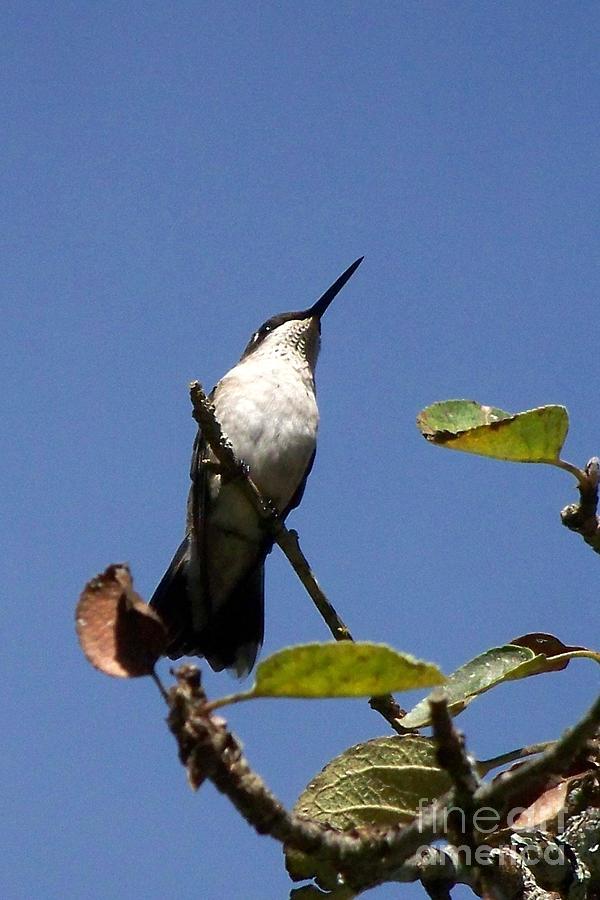 Watchful Female Hummingbird  Photograph