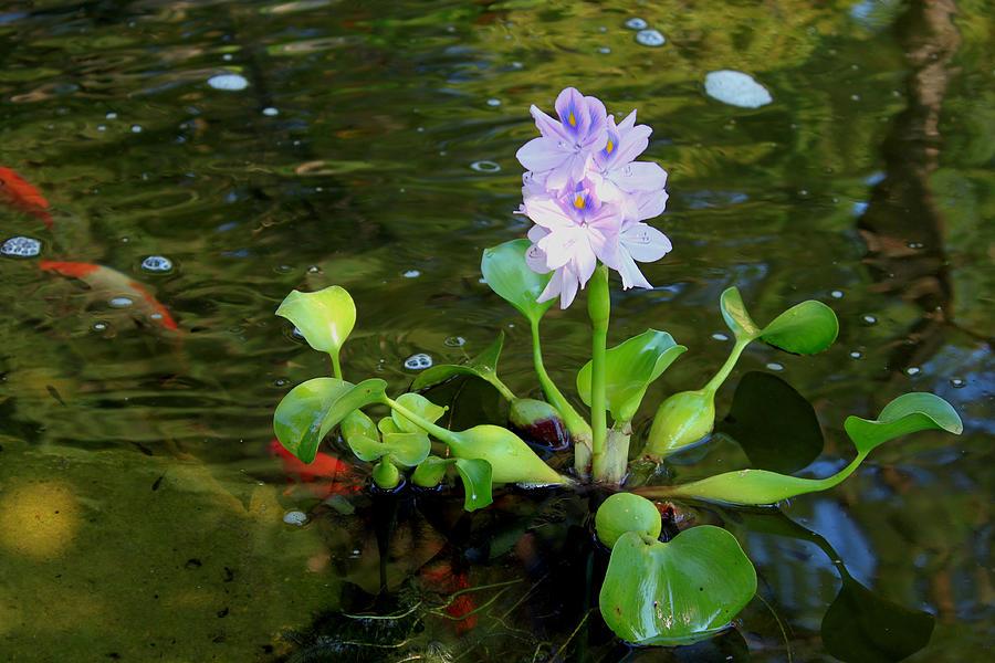 Water Hyacinth Float Painting By Hanne Lore Koehler