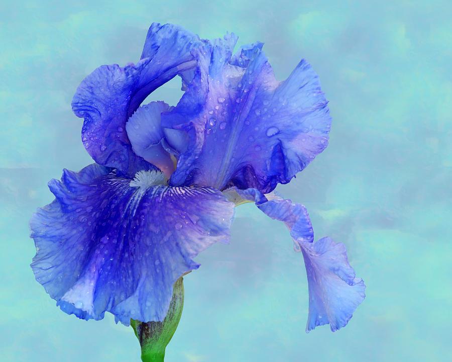 Water Iris Photograph