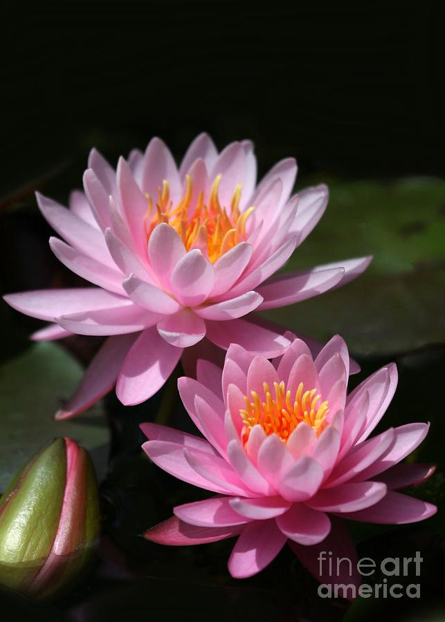 Water Lilies Love The Sun Photograph  - Water Lilies Love The Sun Fine Art Print