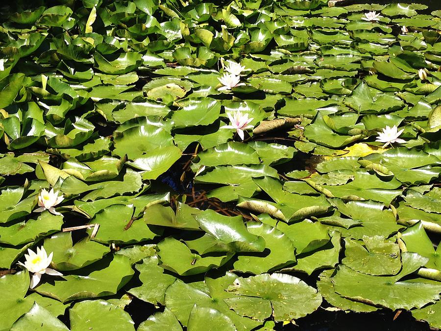 Water Lillies Photograph