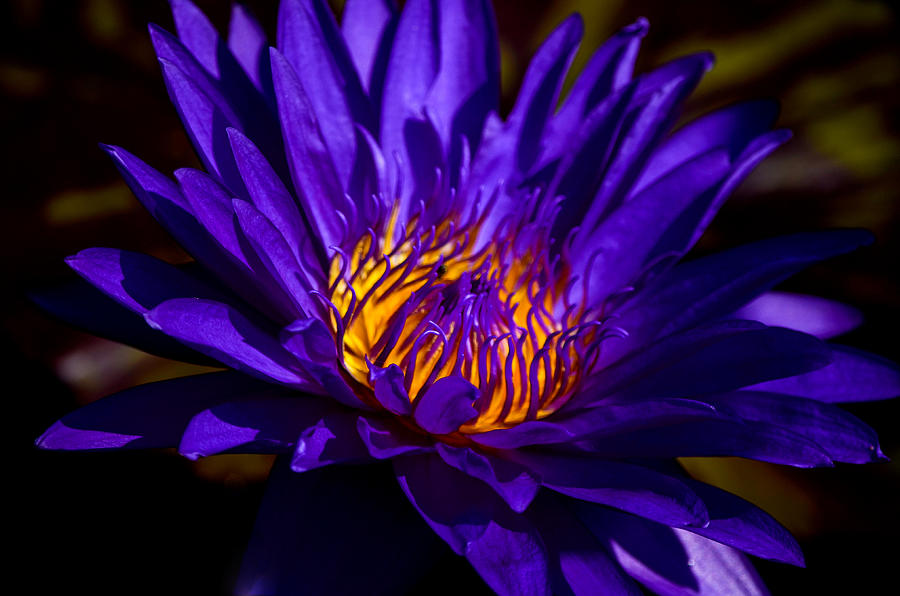 Aquatic Flower Photograph - Water Lily 7 by Julie Palencia