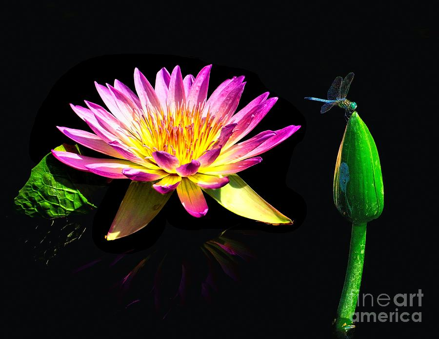 Water Lily Dragon Fly Photograph  - Water Lily Dragon Fly Fine Art Print