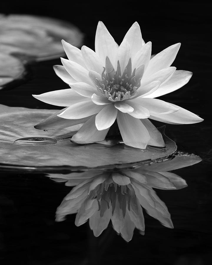 Water Lily Reflections I Photograph
