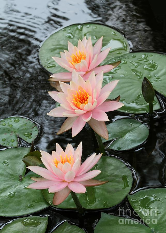 Water Lily Trio Photograph