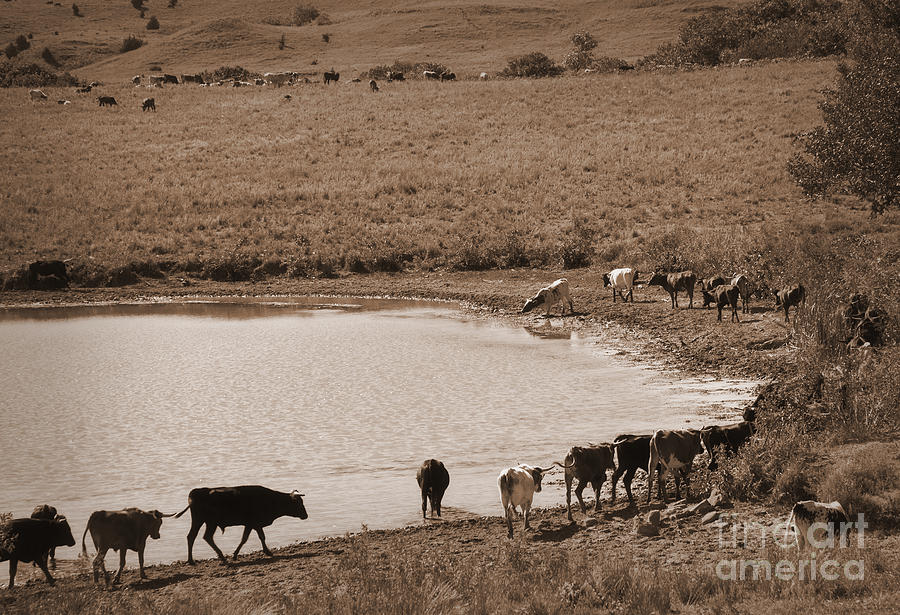 Cattle Photograph - Water Parade Sepia by Fred Lassmann