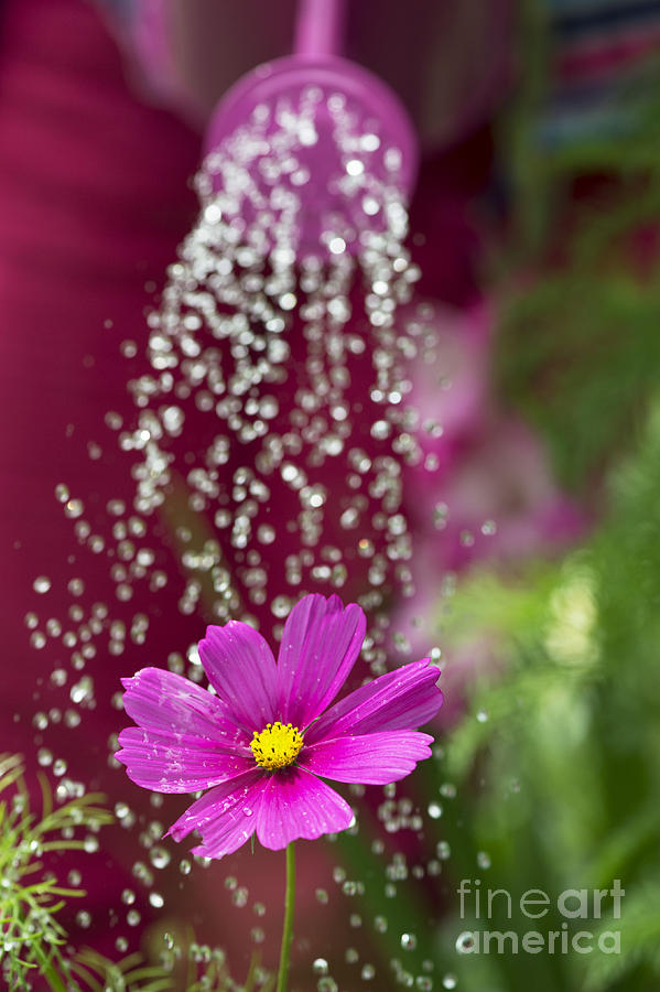 Watering The Cosmos Photograph