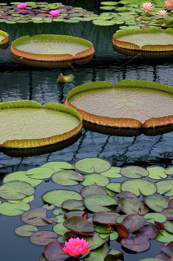 Aquatic Plants Photograph - Waterlilies And Platters 2 by Byron Varvarigos