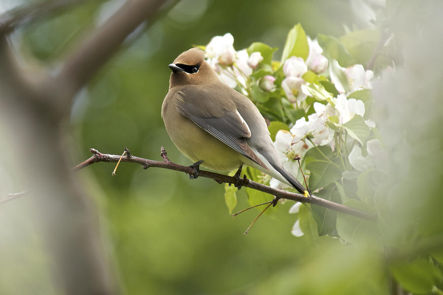 Waxwing In A Dream Photograph
