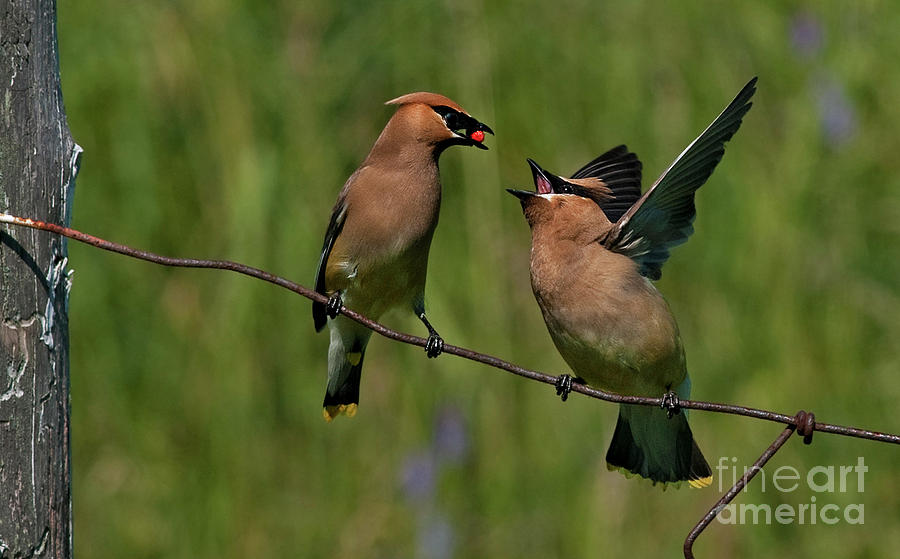 Festblues Photograph - Waxwing Love.. by Nina Stavlund