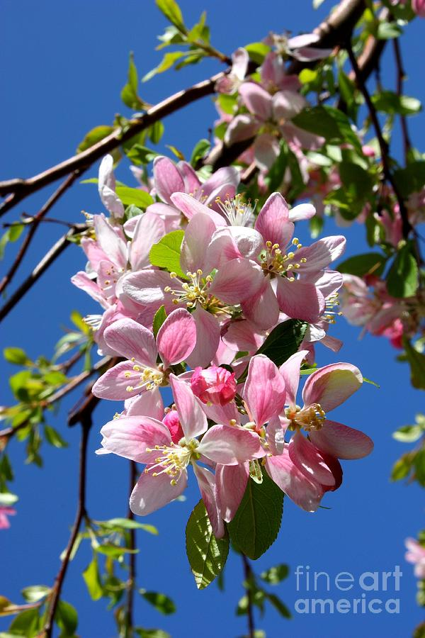 Weeping Cherry Tree Blossoms Photograph  - Weeping Cherry Tree Blossoms Fine Art Print
