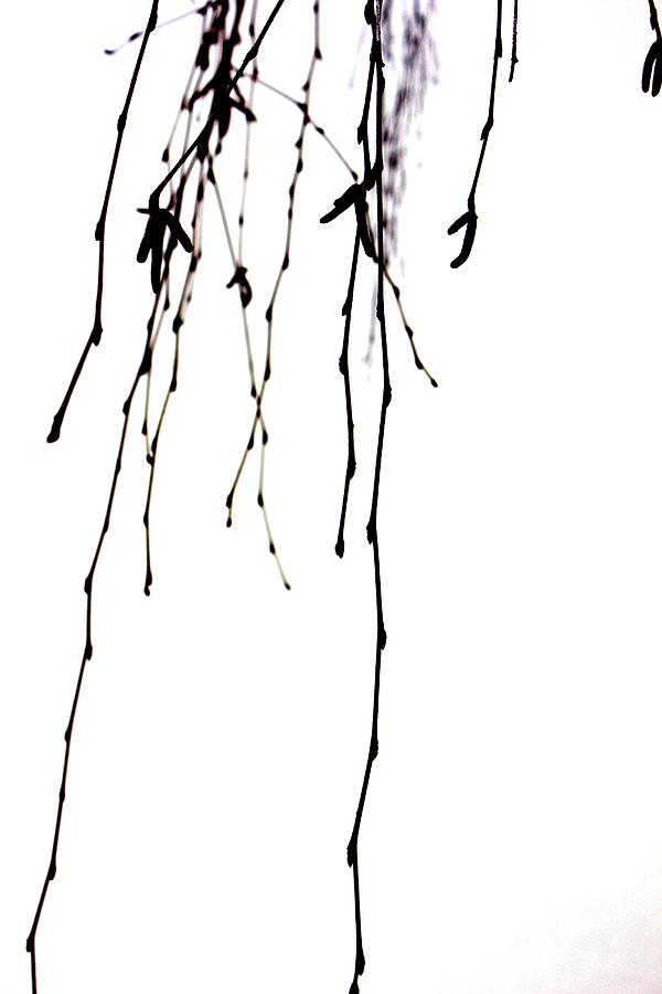 Weeping Willow Tears 2 Photograph  - Weeping Willow Tears 2 Fine Art Print