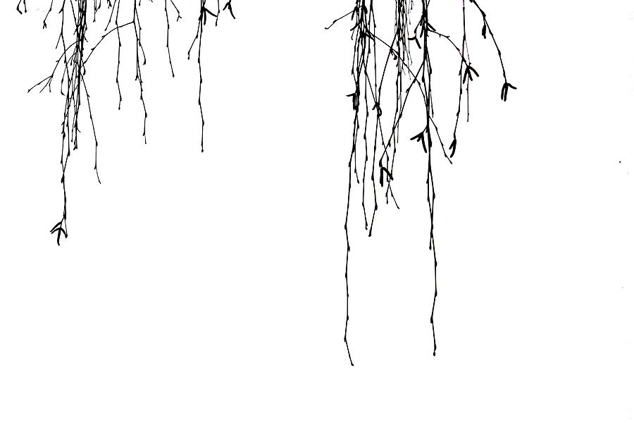 Weeping Willow Tears Photograph