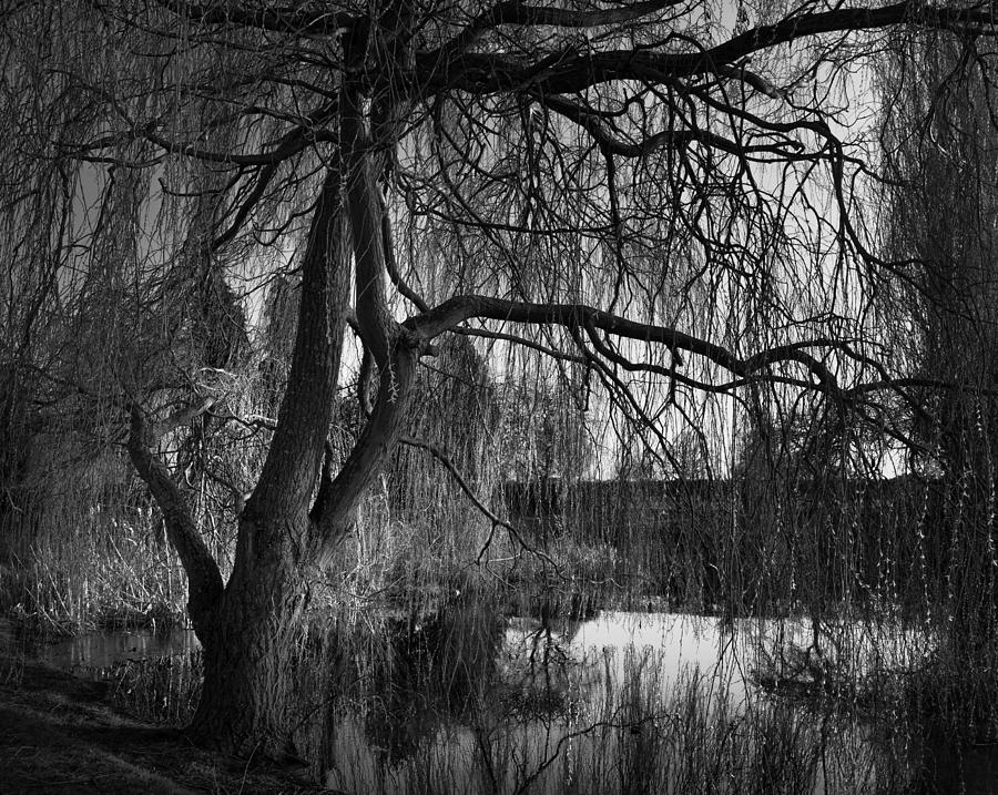 Weeping Willow Tree Photograph