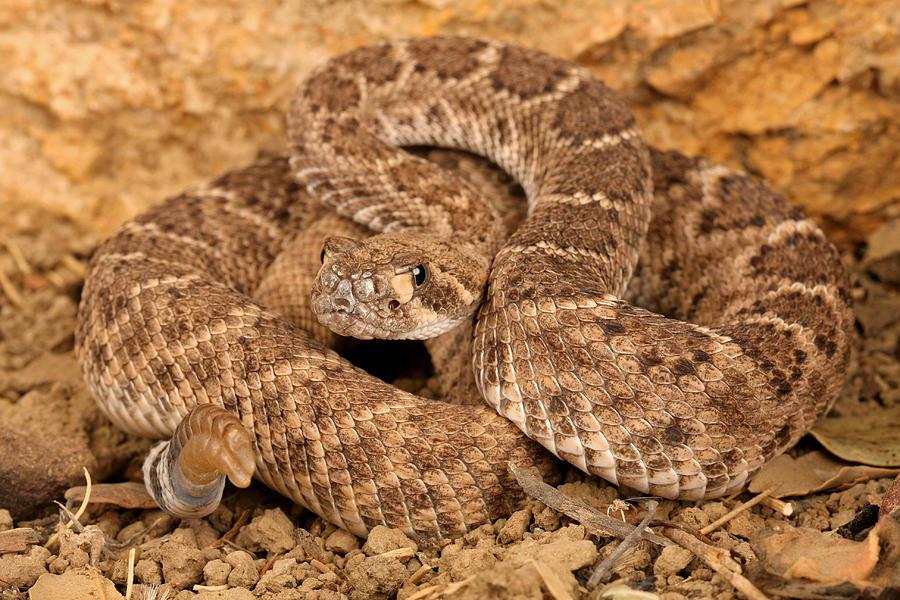 Rattlesnake Photograph - Western Diamondback Rattlesnake. by John Bell