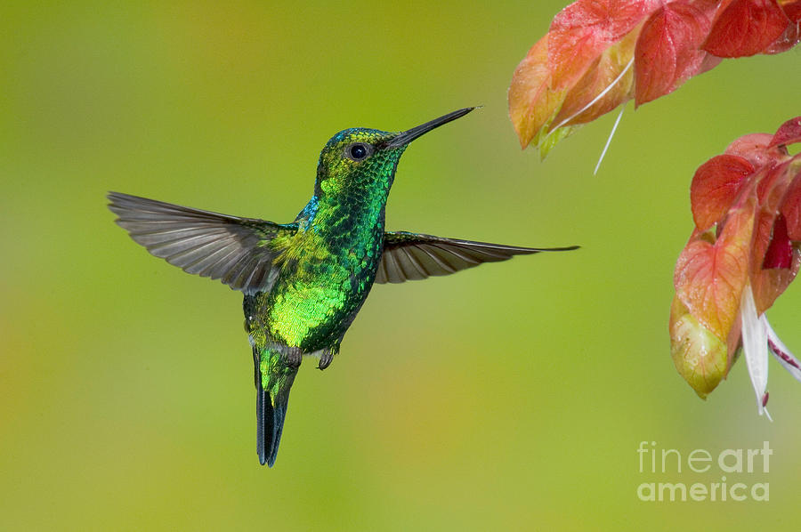 Western Emerald Hummingbird Photograph